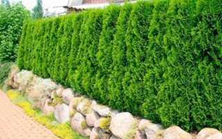 Живая изгородь (забор) из туи: 9 сортов, посадка, уход