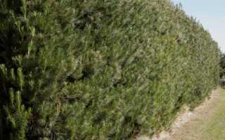 Живая изгородь из ели (8 сортов) и других хвойных (7 видов)