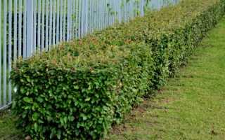 Живая изгородь из кизильника: 5 видов, посадка и уход