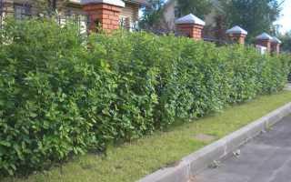 Живая изгородь из дерена: сорта, посадка, размножение, уход