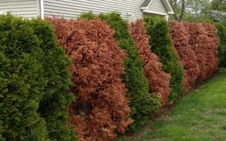 Живая изгородь: хвойные, лиственные, кустарники, вьющиеся