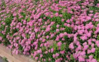 Живая изгородь из спиреи: японской, грефшейм, 11 видов