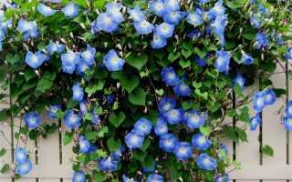Вьющиеся (плетущиеся) растения для оформления забора (изгороди)