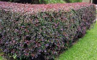 Живая изгородь из барбариса: сорта, как сажать и ухаживать