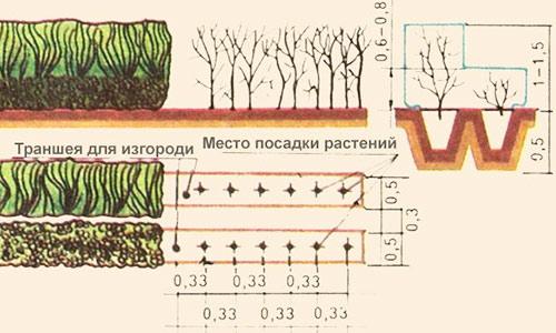 траншеи для посадки изгороди