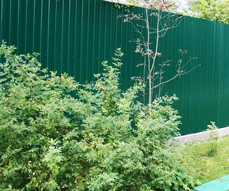 забор профнастил кустарники