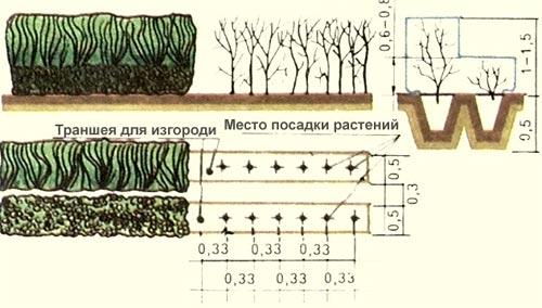 схема посадки изгороди