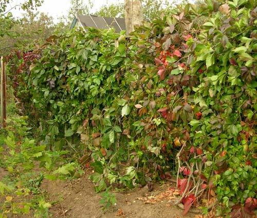 забор из винограда